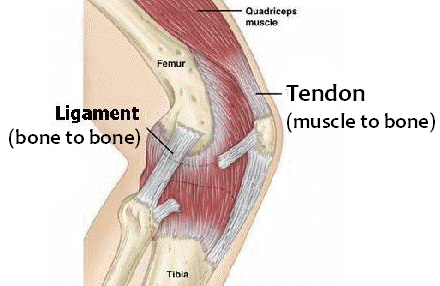 muscle-tendon-ligament